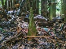 Bamboespruiten Stock Foto