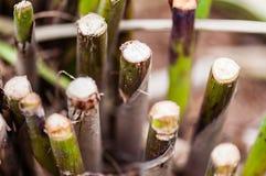 Bamboespruiten in de lente die groeien Royalty-vrije Stock Afbeeldingen
