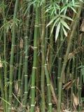 Bamboestelen en bladeren Stock Afbeelding