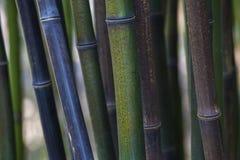 Bamboestruikgewas Stock Afbeeldingen