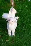 Bambola della capra in giardino Immagini Stock