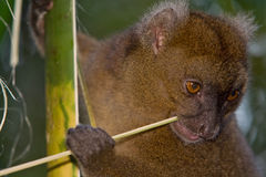 bamboo большой lemur Стоковая Фотография