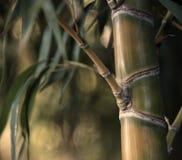 Bamboo дерево Стоковые Изображения