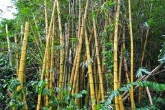 bamboo желтый цвет завода Стоковая Фотография