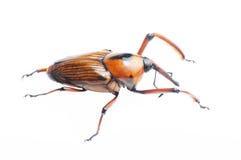 Bamboo жук рыльця стоковая фотография