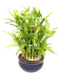 bamboo завод Стоковое Изображение RF
