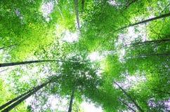 bamboo зеленый вал Стоковые Изображения RF