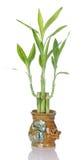bamboo керамический удачливейший бак завода Стоковые Изображения RF