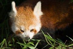 bamboo красный цвет панды еды Стоковые Фото