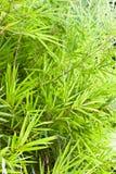 bamboo листья сада Стоковые Фотографии RF