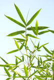 bamboo листья Стоковое Изображение
