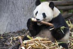bamboo медведь есть гигантскую панду стоковое изображение rf
