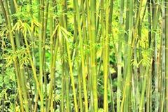 bamboo плотная пуща Стоковая Фотография