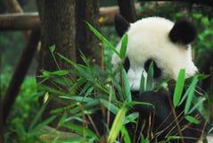 bamboo сдерживая панда Стоковая Фотография