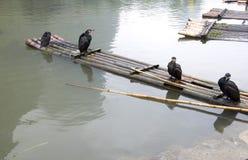 bamboo сплоток cormorants Стоковое фото RF
