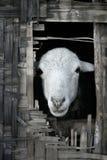 bamboo хата смотря вне овец thatched Стоковые Фотографии RF
