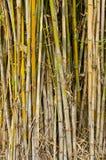 Bamboo черенок. Стоковое Изображение RF