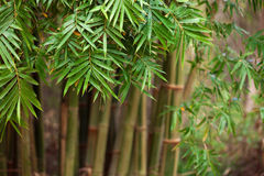bamboo черенок Стоковые Изображения RF