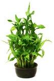 bamboo черный зеленый бак Стоковые Изображения