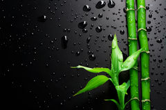 Bamboo. Fresh Green Bamboo over Black background. With copy space stock photography