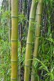 Bamboo. Closeup shoot of bamboo forest Royalty Free Stock Photos