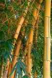 Bamboo. Large bamboo plants in Africa Stock Photography