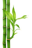 Bamboo. Beautiful Bamboo isolated on white royalty free stock image