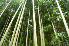 Bamboo. Green Bamboo Forest in garden Stock Image