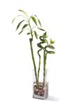 Bamboo. A bamboo plant in a vase with stones and water Royalty Free Stock Photos
