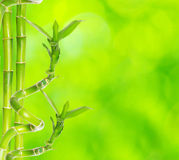 Bamboo. Beautiful bamboo isolated on green background Royalty Free Stock Image