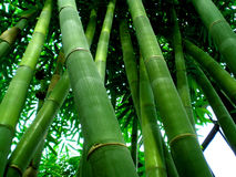 Bamboo. Southeast Asian giant bamboo forest Stock Photos
