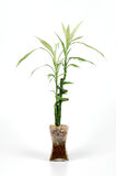 Bamboo. In a glass vase Royalty Free Stock Image