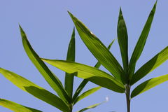 Bamboo. Leaves Stock Photo