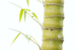 A bamboo Royalty Free Stock Photo