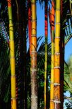 The Bamboo. The colorful bamboo in the public park Stock Images