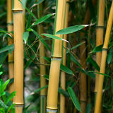 Bamboo. Close up of bamboo grass Stock Image