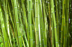 Bamboo. Lush and dense green bamboo grove in a park Royalty Free Stock Photography