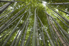 Bamboo. Low angle view of a bamboo forest Royalty Free Stock Image