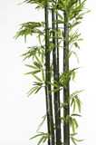 Bamboo. Stalks isolated on white