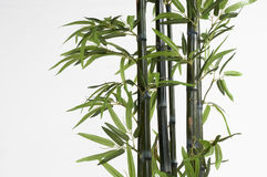 Bamboo. The bamboo stalk isolated on white background royalty free stock photos