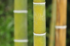 Bamboo. Beside their strength, height Bamboos have an amazing structure and built. sections separated with these white round lines all around Stock Images