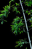 Bamboo. Leaves with dark background Royalty Free Stock Image