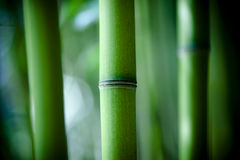 Bamboo. Close up of a stalk of green bamboo Royalty Free Stock Photos