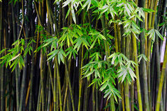 Bamboo. A bamboo fores background abstract Royalty Free Stock Photo