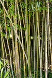 Bamboo. Photograph of a stand of bamboo plants Royalty Free Stock Images