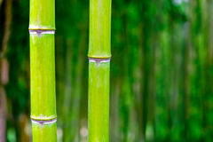 Bamboo. Fresh green bamboo on green defocused background Royalty Free Stock Photos