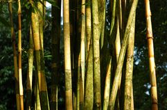 Bamboo. Yellow bamboo in the parks royalty free stock image