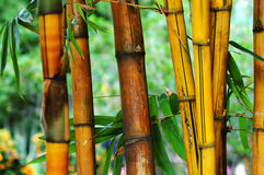 Bamboo. The yellow and the brown bamboo tree Stock Photos