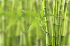 Bamboo. Isolated on olther  background Royalty Free Stock Photo