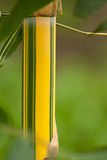 Bamboo. Natural growing bamboo in tropical forest in Bali in Indonesia Stock Photography